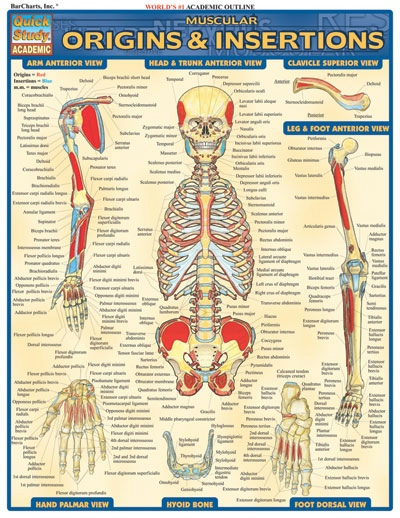 Muscle Origins & Insertions